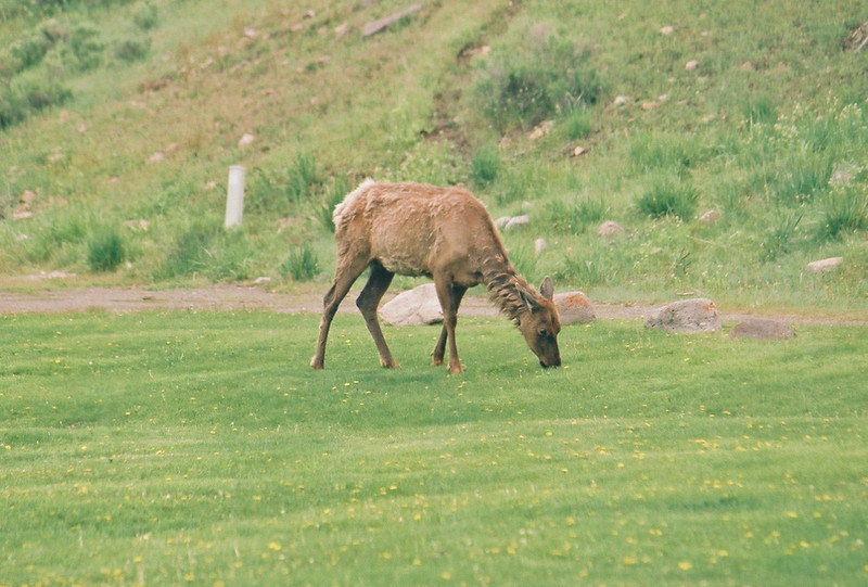 Mammoth Hot Springs - resident elk