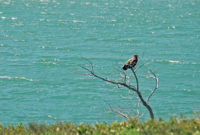 Hawk by Lower St. Mary Lake