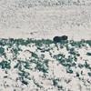 Bear, Hayden Valley, Yellowstone