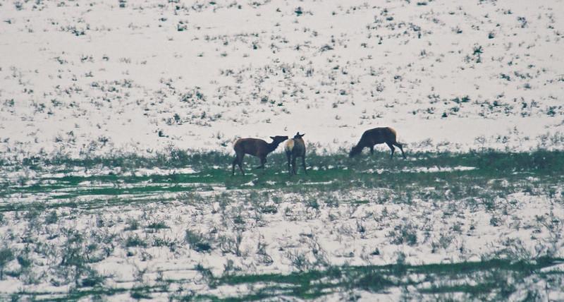 Elk, Hayden Valley, Yellowstone
