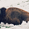 Bison, Hayden Valley