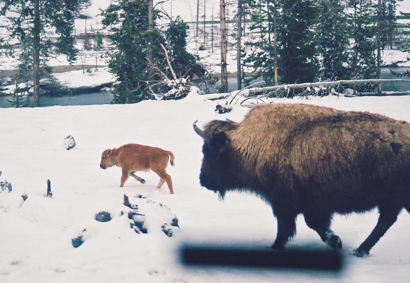 More bison, Hayden Valley