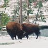 Bison, Hayden Valley, Yellowstone
