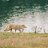 Coyote near Lake Yellowstone