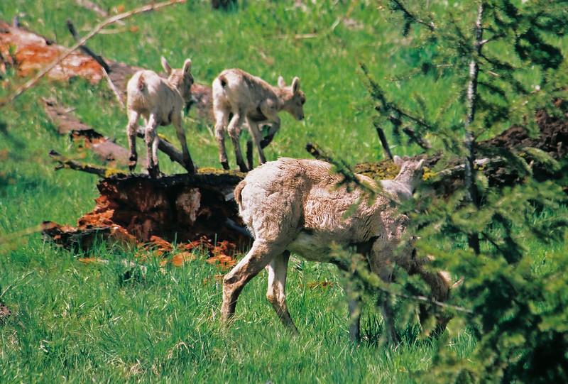Bighorn sheep and 2 kids on log