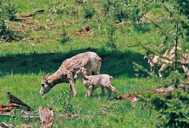 Bighorn sheep and kid