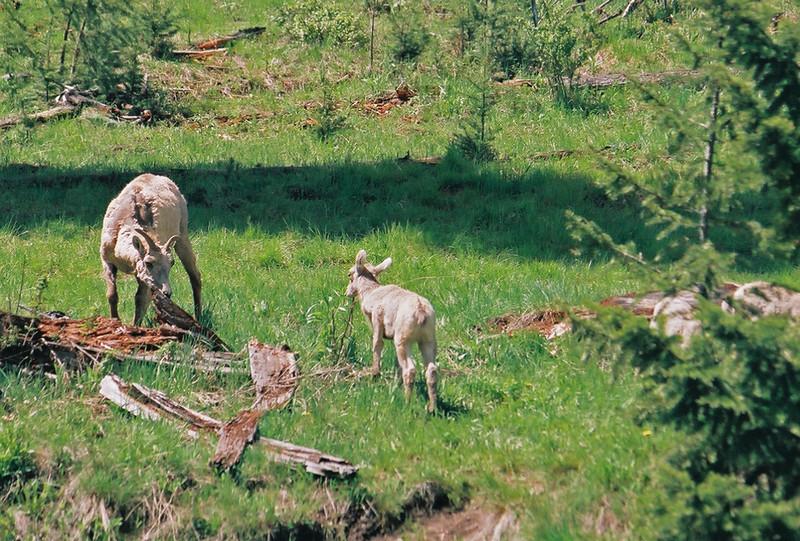 Bighorn sheep and kid