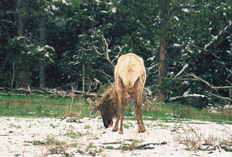 Bull elk in velvet, in the snow