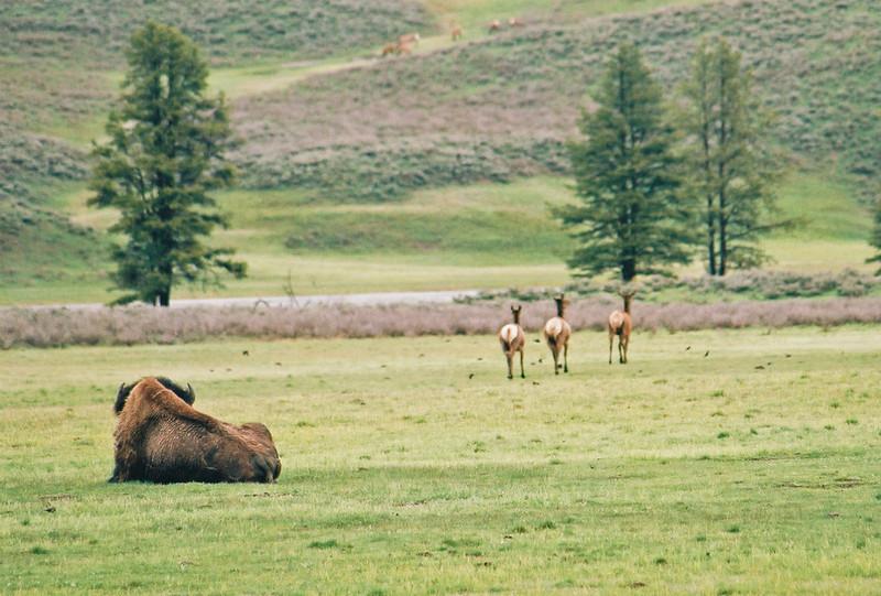 Bison and elk, Hayden Valley