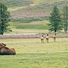 Bison and elk, Hayden Valley