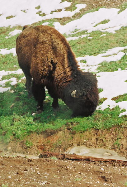 Bison, near mud volcano
