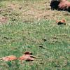 Sleeping bison calves  (taken from the car)