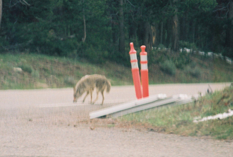 Coyote - he moved faster than my long lens; near Fishing Bridge