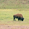 Bison, near Steamboat Point