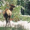 Elk cow, Hayden Valley
