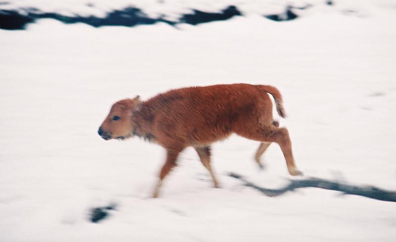 Bison calf, Hayden Valley, Yellowstone
