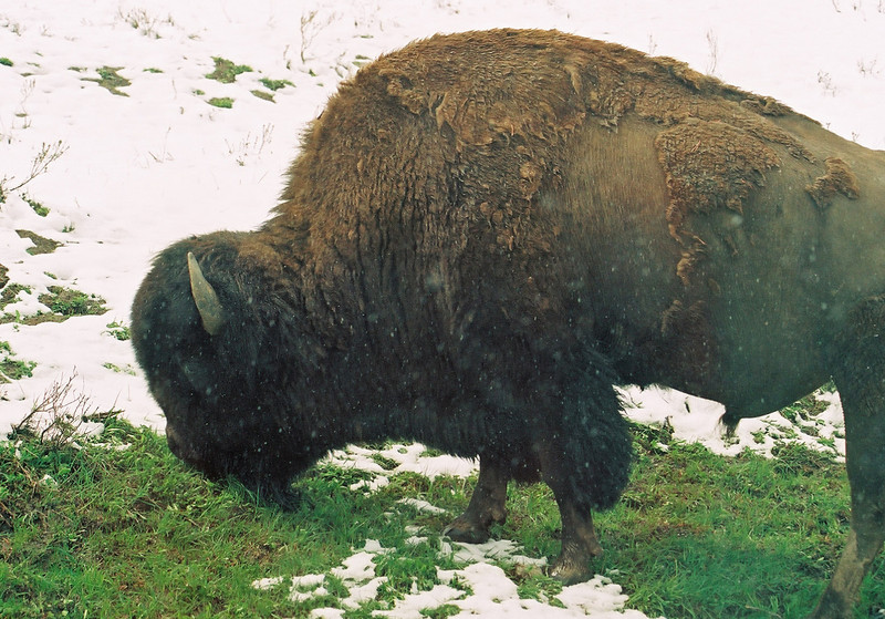 Bison, Hayden Valley; not sure why he's green