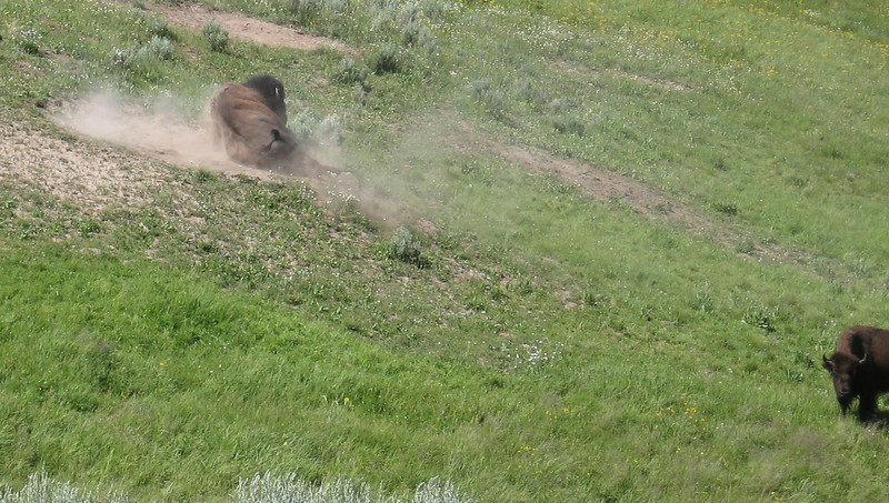 Here's one of the buffalo rolling in the dust.