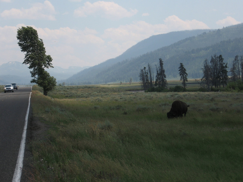 One buffalo was near the road.