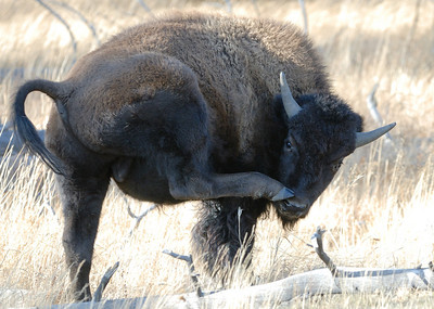 What does a bison do when his nose itches???
