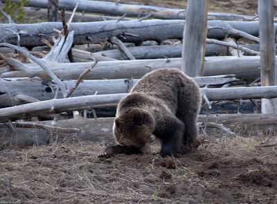 He takes an unorthodox style to his digging.  He tangled with a porcupine a few weeks earlier, and has quils in his right front paw.