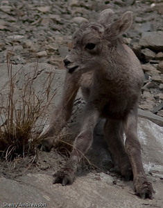 Baby Bighorn Sheep near Gardiner