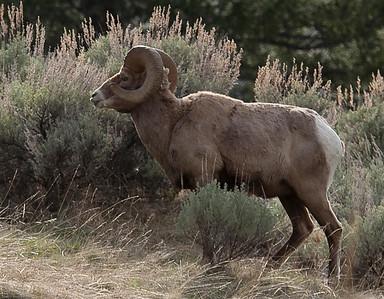 Big Horn ram in Yellowstone picnic area