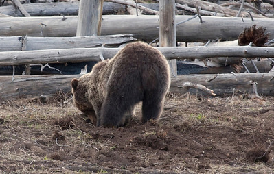 Small Grizzly digging for breakfast near Grizzly Lake