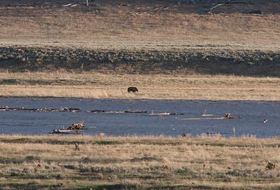 Large Grizzly feeding in Lamar