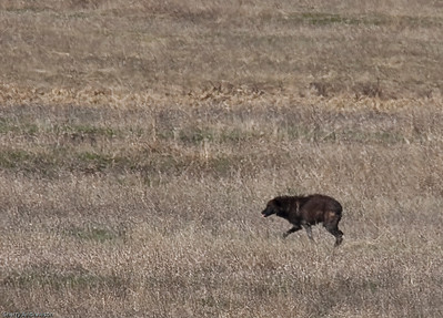 She escapes, bloodied and bruised.  The coyotes chase her for nearly half a mile, dropping the chase at the Lamar River.