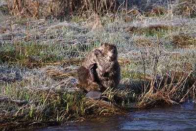 Beaver grooming himself along the Lamar river