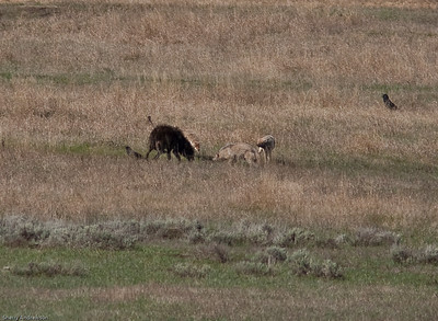 Excitement in the Lamar valley.  A lone black wolf was feeding on a kill in the river.  Four coyotes took offense and attacked her in very uncharacteristic behavior.