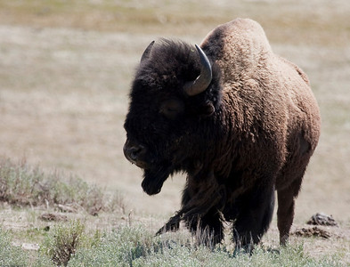 Bull Bison shedding his winter coat in the Madison Valley