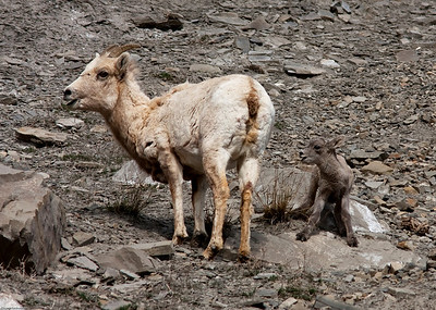 Baby staying close to mama on the steep rocks
