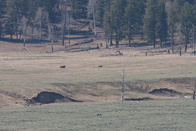 More odd behavior.  At a distance of nearly a mile.  A bull Bison chases a Grizzly bear into the trees.  Over the span of an hour, a group of four bulls ran the bear off twice.