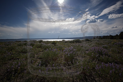 Lupine under radial clouds over Yellowstone Lake, 30Jul10