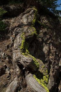 Mossy tree root.