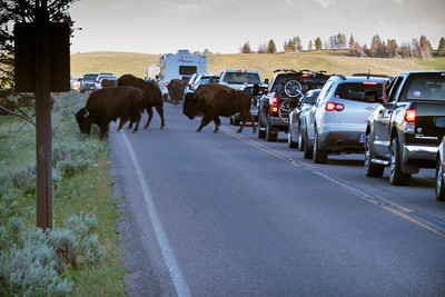 In Hayden Valley, the bison started crossing the road to get to greener pastures across the river causing a wildlife traffic jam which is very common each night in this valley.