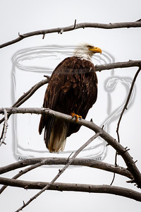 The Bald Eagle that hangs out along the Madison just a bit west of West Yellowstone, MO.