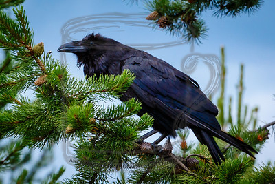 My best raven shot to date: West Yellowstone, Montana