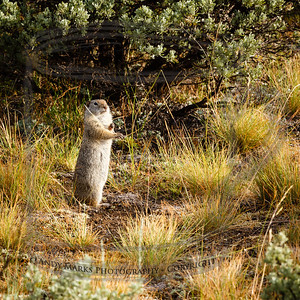 Uinta ground squirrel along a path near the Madison River in YNP.  If you stand perfectly still the photographer won't see you.