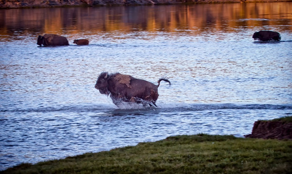 The Bison were anxious to get in the water.  They must have been warm.  This guy ran down the hill and splashed into the water.