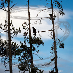 Ravens, not roosters, in West Yellowstone, Montana at 7am.