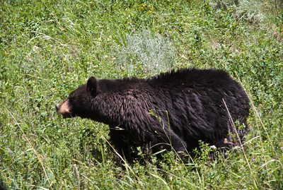 We were drving along the side of the road going to Lamar Valley near Tower and came upon this young black bear along side of the road with his Mom.  Big traffic jam.