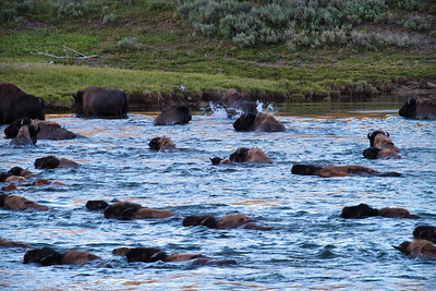 "Part of the first wave of bison swimming accross the deep waters.  >500 crossed the river.  One person exclaimed, ""I have been coming here for the last 3 years and never saw anything like this!""  This was out first night entering the park.  What a treat.  Much like an African Wildebeast migration."