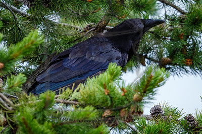 A raven, eating and keeping an eye on me.  West Yellowstone, Montana