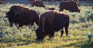 Some of the 500+ bison we saw as we first entered Hayden Valley.  The next photos show the bison migrating to the river.
