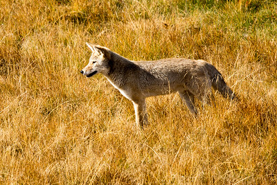 Coyote in Hayden Valley chasing field mice