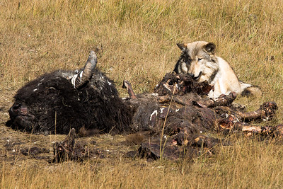 Grey Wolf with one day old Bison carcase