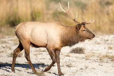Bull Elk at Mammoth Springs